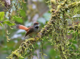 Rusty-flanked Fantail (Rufus-bellied Fantail)