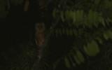 Minahasa Masked Owl