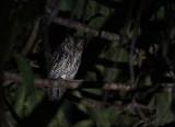 Moluccan Scops Owl
