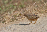 Yellow-legged Buttonquail