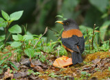 Chestnut Thrush