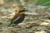 Malay Banded Pitta
