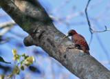 Bay Woodpecker