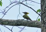 Lesser Yellownape