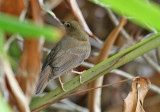 Brown-chested Jungle Flycatcher