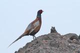 Ringed Pheasant