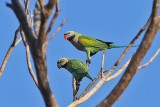 Red-breasted Parakeets