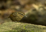 Eye-browed Wren Babbler