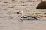 Cotton Pygmy Goose