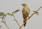 Striated Warbler