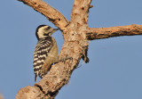 Freckle-breasted Woodpecker