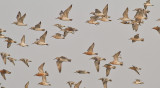 Great and Red Knots