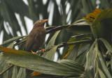 Orange-billed Babbler