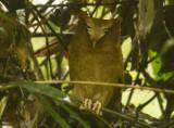 Serendib Scops Owl
