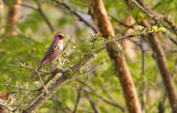 White-browed Himalayan Finch