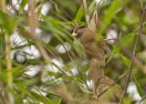 Brown Parrotbill