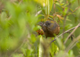 Gold-naped Finch, female