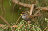 Grey-sided Bush Warbler