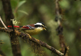 Red-tailed Minla