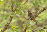 Spotted Laghingthrush