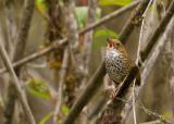 Scaly-breasted Wren Babbler