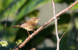 Yellow-streaked Warbler