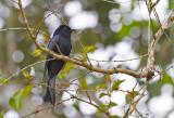 Drongo Cuckoo