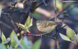 Buff-barred Leaf Warbler