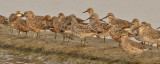 Great & Red Knots