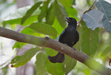 Spangled Drongo (Hair crested)