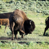 Buffalo Scratching an Itch