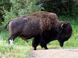 Buffalo in Theodore Roosevelt Nat Park