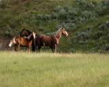 Wild Mustangs in ND Badlands