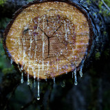 Pine Sap