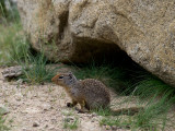 Cute Ground Squirrel.jpg