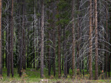 Pine Forest in Montana_rp.jpg