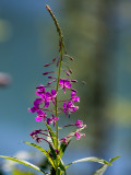 Fushia Flowers n Fly Lake Background_rp.jpg