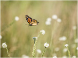 Monarch Butterfly Flying-2