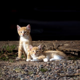 Two Orange Farm Kittens_square