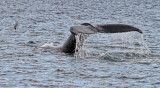 _MG_6923-humpback-tail-1800o