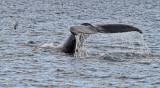_MG_6923-humpback-tail-1800o