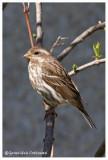 Roselin pourpré (f) / Carpodacus purpureus