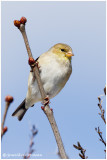Chardonneret jaune (f) / Spinus tristis