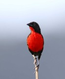Red-breasted Blackbird_6670.jpg