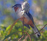 Rufous-throated Solitaire_2180.jpg