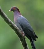 Caribbean Birds
