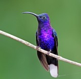 Violet Sabrewing - male_6118.jpg