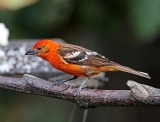 Flame-colored Tanager - male_1963.jpg