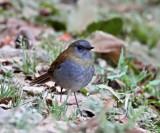 Black-billed Nightingale-Thrush_2272.jpg