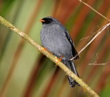 Black-faced Solitaire_2778.jpg